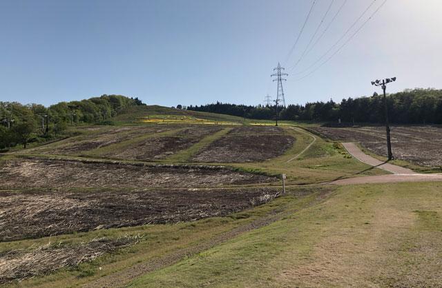 せんだん山水仙そば祭りのゲレンデ下から見たスイセン畑