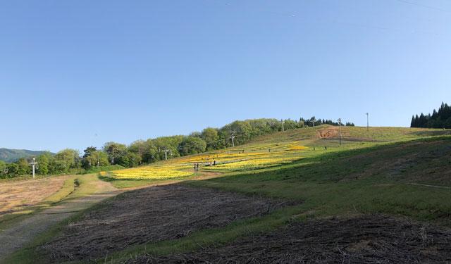 砺波市夢の平スキー場第4駐車場から見たスイセン畑