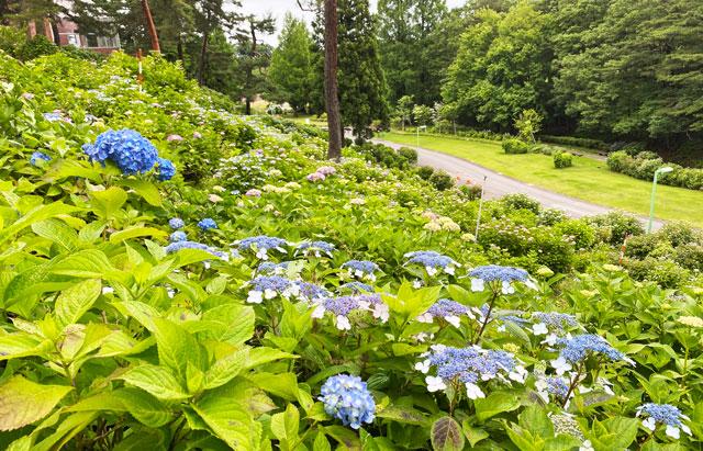あじさい祭りin太閤山ランドの一面の紫陽花(見下ろし)