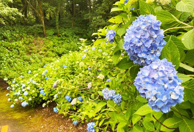 あじさい祭りin太閤山ランドの一面の紫陽花(アップ)