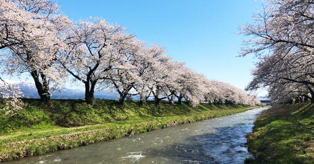 富山県朝日町の舟川べりの桜