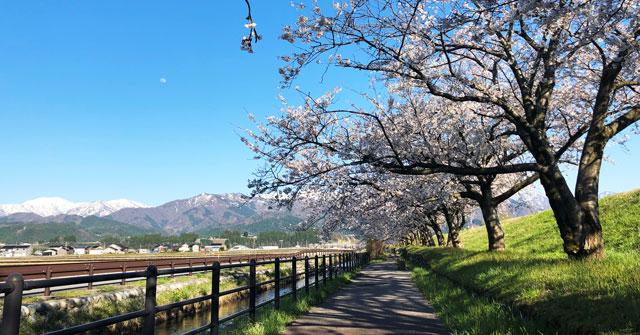富山県入善町の黒部川堤防桜堤