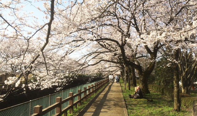 富山市の花見の名所松川べり、神通川付近の桜のトンネル