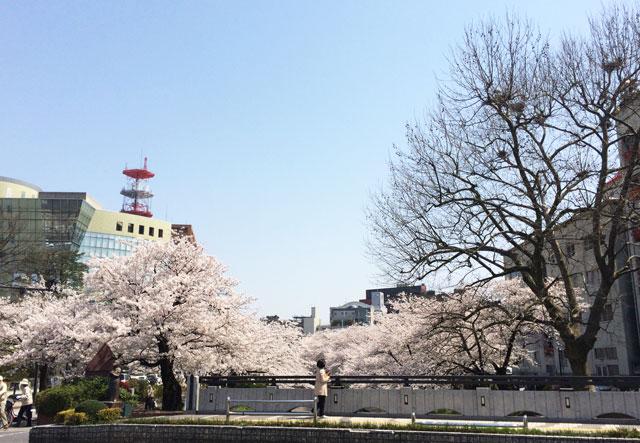 富山市松川べりの満開の桜と富山市役所