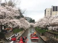 富山市松川沿いの桜と松川遊覧船