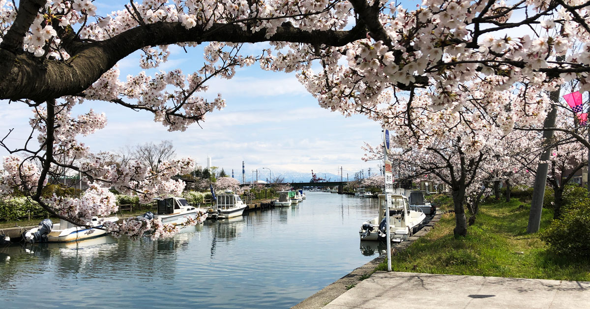富山県射水市内川の桜