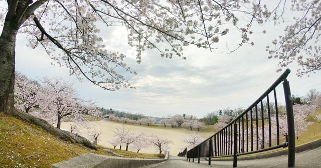 富山県魚津市桃山公園の桜