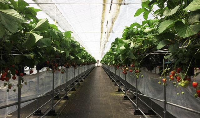 梅香園、梅香のしずくのいちご栽培ハウス