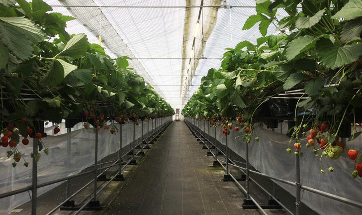 梅香園のいちごの栽培ハウス