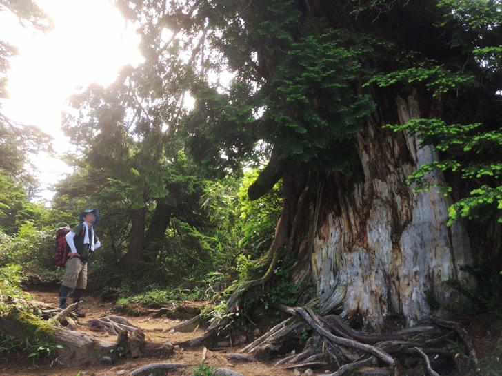 富山県の百名山薬師岳の大木
