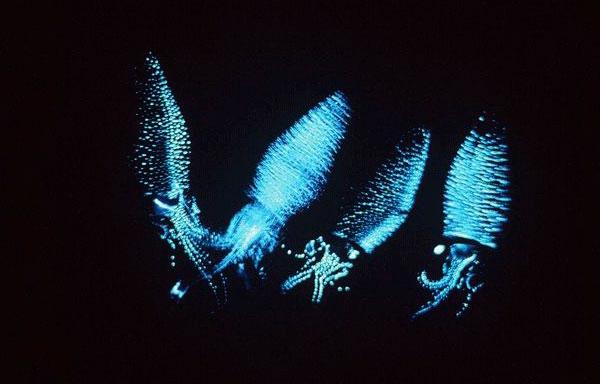 発光するホタルイカ