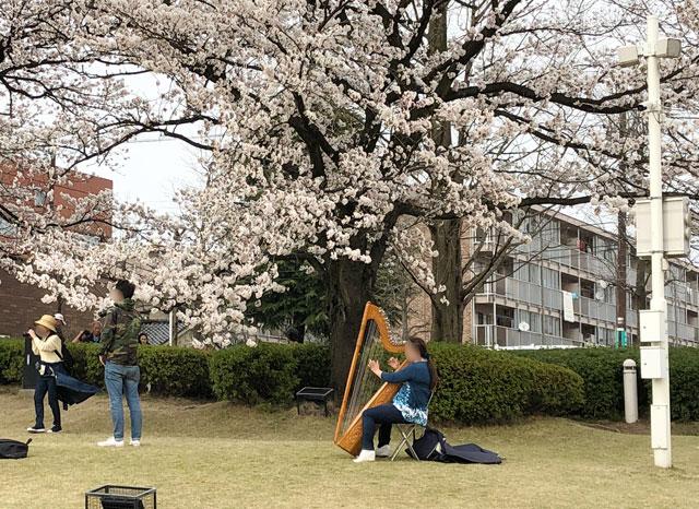 桜満開の富岩運河環水公園でハープを弾く人
