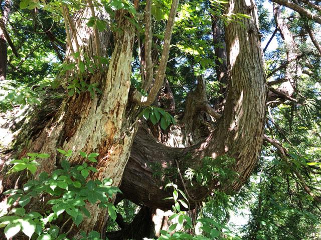 中山登山で見られるツノのような木