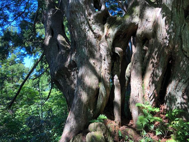 中山登山で見られるとにかく太い木