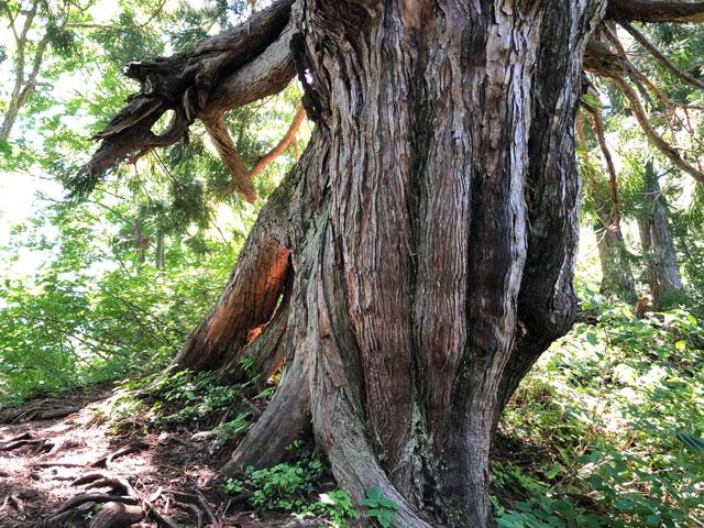 中山登山で見られるウネウネした味のある木