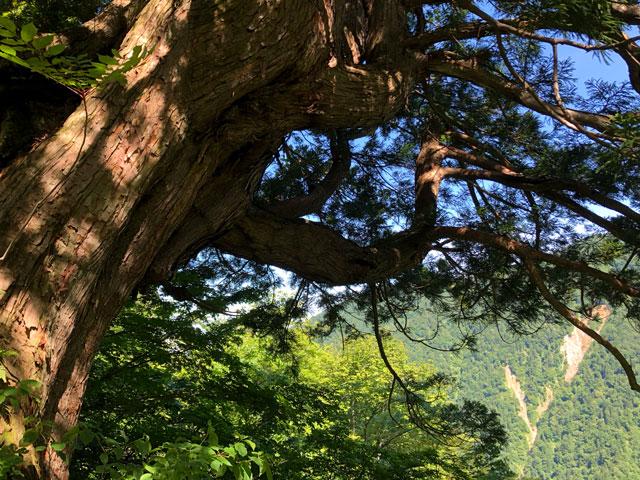 中山登山で見られる巨木