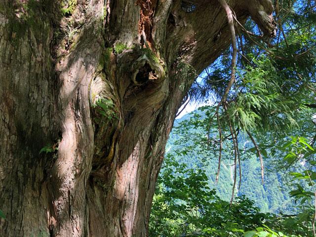中山登山で見られる樹齢が古い巨木