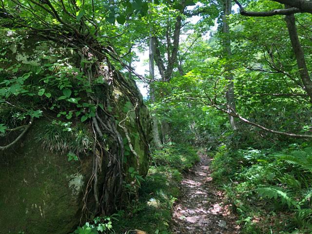 大日平までの登山道にある根っこがびっしりの巨石2