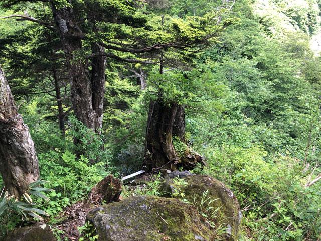 大日平までの登山道の味のある折れた木