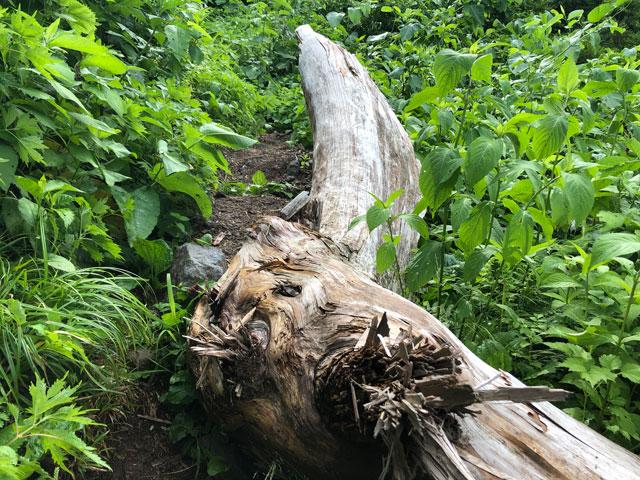 大日平までの登山道にある流木のような木