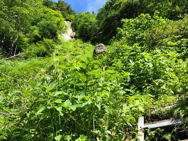 大日平までの登山道の鮮やかな黄緑