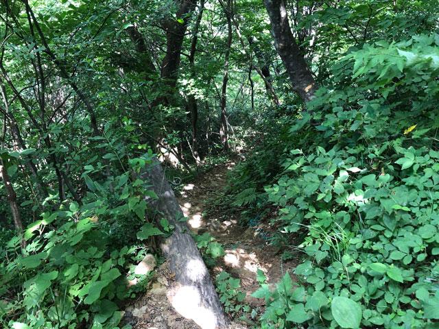 尖山(とんがり山)夏椿峠登山口の獣道2