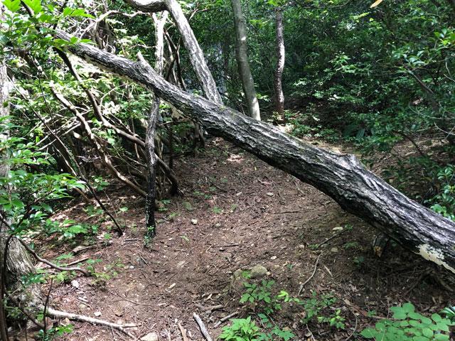 尖山(とんがり山)夏椿峠登山口の倒木