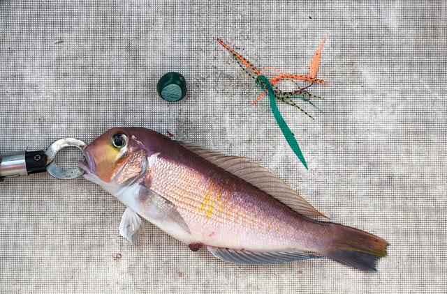 鯛カブラで釣り上げた甘鯛