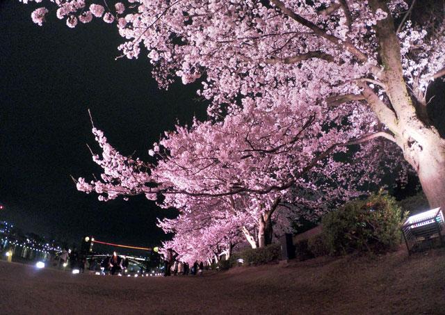 富岩運河環水公園の夜桜ライトアップ(見上げ)