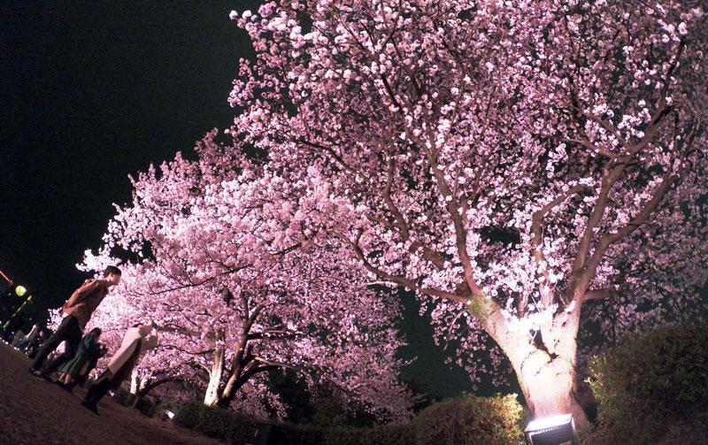 環水公園のライトアップされた夜桜を見上げる花見客