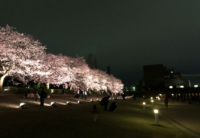 富岩運河環水公園の黄色の夜桜ライトアップ