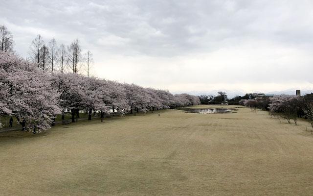 富山県中央植物園の桜満開の広場