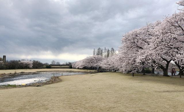 富山県中央植物園の桜満開の広場の泉
