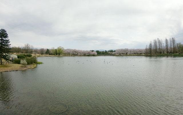 富山県中央植物園の池越しの桜