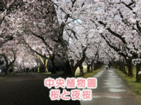 【富山県中央植物園の桜】花見にオススメ!昼の桜も夜桜ライトアップも綺麗すぎた☆