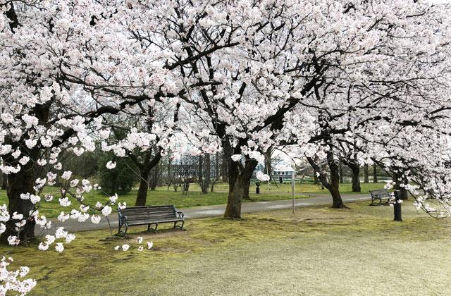 富山県中央植物園の桜満開の下のベンチ2