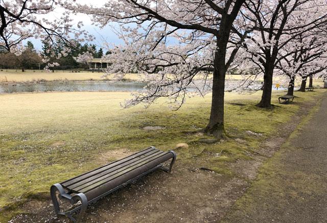 富山県中央植物園の桜満開の下のベンチ