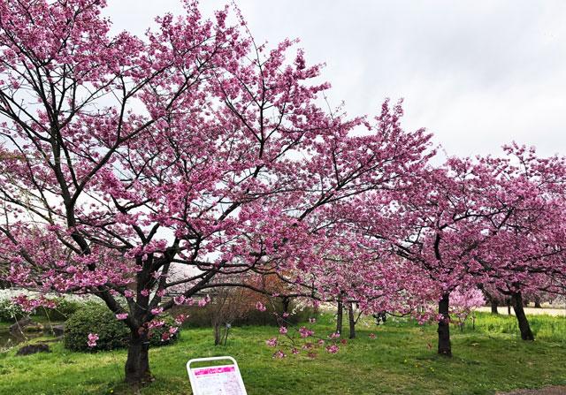 富山県中央植物園の皇太子妃雅子様にちなむ桜「ミヤビ」