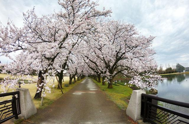 富山県中央植物園の桜並木