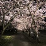 【富山県中央植物園の夜桜】期間限定ライトアップが綺麗すぎた!体験レポート☆デートにも最適!