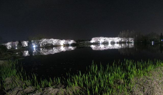 富山県植物園の桜ライトアップと湖面