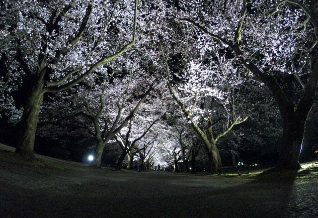 富山県植物園の夜桜ライトアップを見上げる
