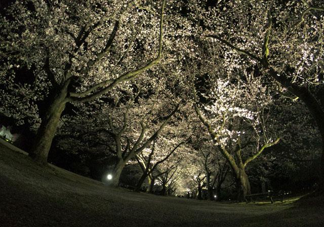 富山県植物園の夜桜ライトアップを見上げる(色違い)