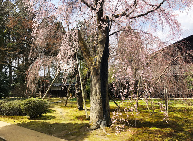 国登録有形文化財、富山県民会館分館「豪農の館 内山邸」 のしだれた桜の枝と花