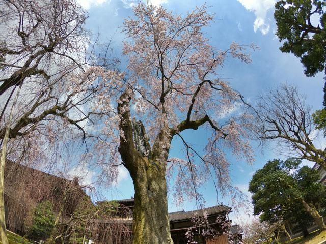 国登録有形文化財、富山県民会館分館「豪農の館 内山邸」 のしだれ桜1本