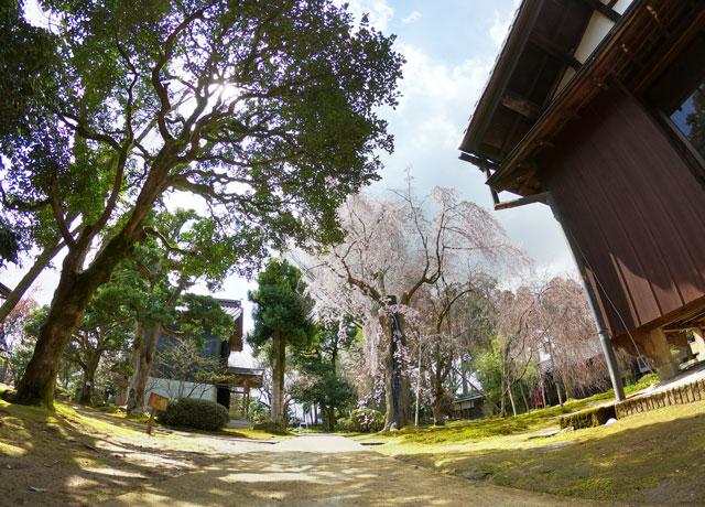 国登録有形文化財、富山県民会館分館「豪農の館 内山邸」 のしだれ桜と建物を遠目から撮った写真