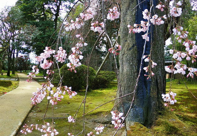 国登録有形文化財、富山県民会館分館「豪農の館 内山邸」 のしだれた桜の花