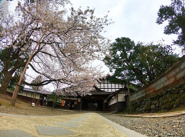 国登録有形文化財、富山県民会館分館「豪農の館 内山邸」 のソメイヨシノ