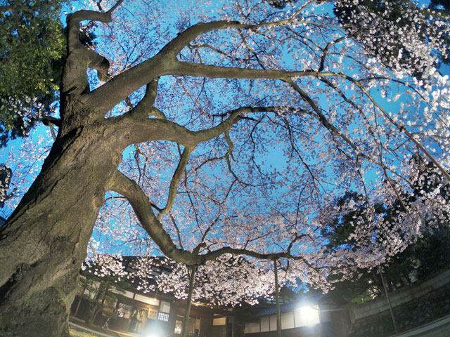 国登録有形文化財、富山県民会館分館「豪農の館 内山邸」 の桜ソメイヨシノを見上げる