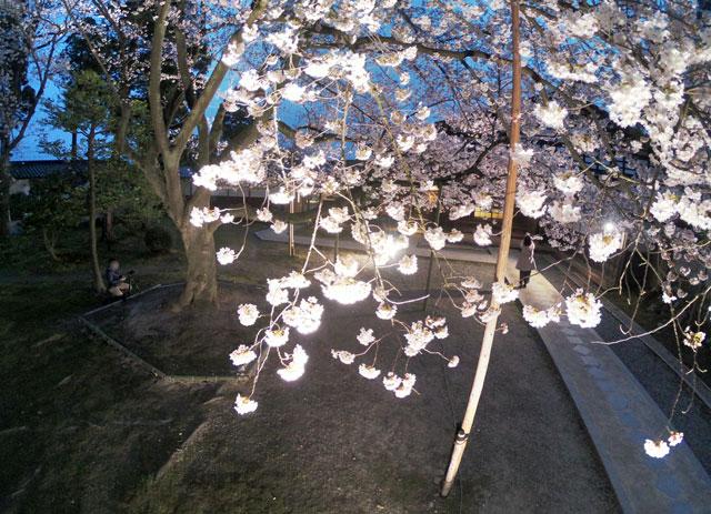 国登録有形文化財、富山県民会館分館「豪農の館 内山邸」 の桜ソメイヨシノのアップ